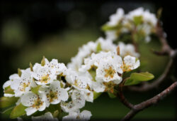 Blossoms of the Tzitzit